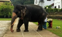 sri-lanka-an-elephant-in-the-temple-of-the-tooth-relic-photo.jpg