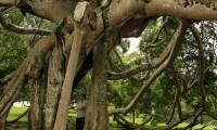 sri-lanka-giant-java-willow-tree-in-peredeniya-botanical-garden-photo.jpg