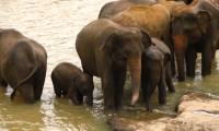 Elephant_orphanage_near_Kandy,_Sri_Lanka.jpg