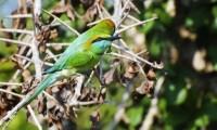 7427014-two-green-bee-eater-merops-orientalis-birds-in-yala-west-national-park-sri-lanka.jpg