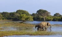 8271038-a-mother-and-baby-elephant-in-a-lagoon-in-yala-national-park-sri-lanka.jpg
